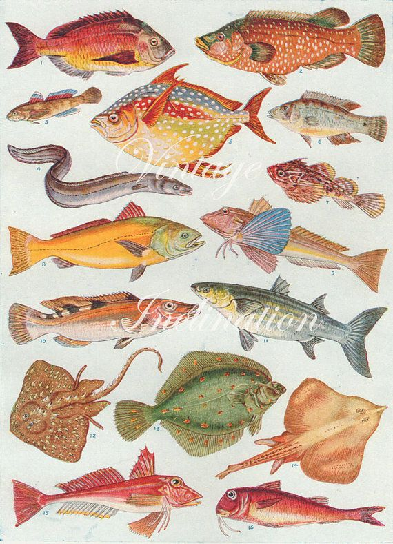 Antique Print, BRITISH FISH Chart1930s beautiful wall art vintage color lithograph illustration sea ocean creatures bookplate