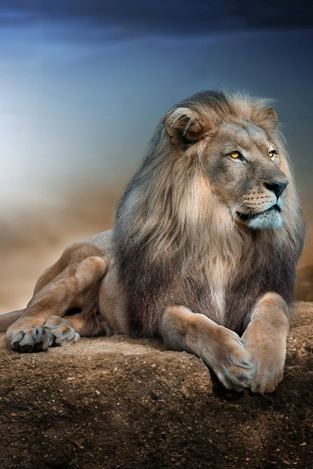 male lions roaring - Google Search