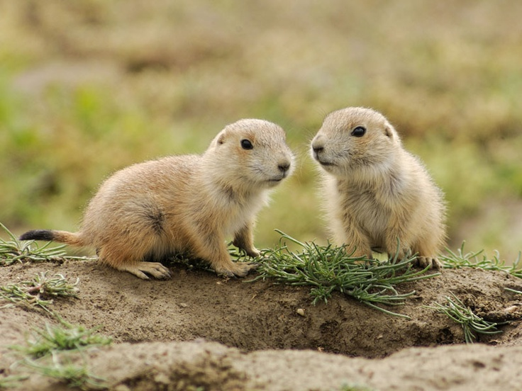 Baby Black-Tailed Prairie Dogs | Cutie Prairie Dogs ...
