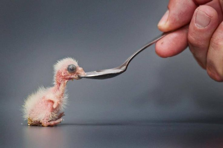 **** Exhibit A. Previous pinner: Flamingo chick. Me: This is ridiculous! A prime example of some completely clueless person making up a caption on the spot and putting it out there, to confuse and misinform the masses in perpetuity. So anyway, notice how really, really tiny this baby bird is. Notice how it hatched out pink and mostly naked. Notice the distinctive shape of its PARAKEET beak! (Comments below.)