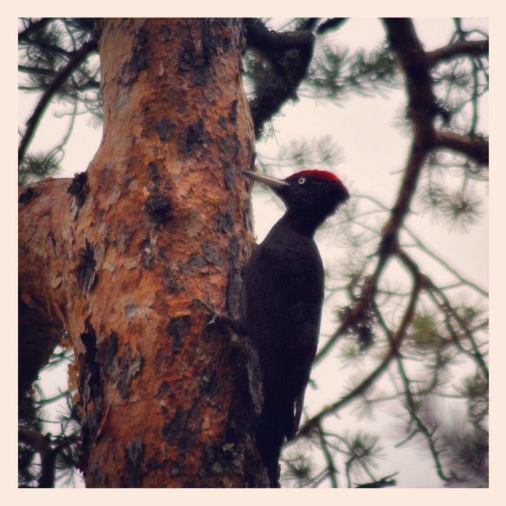 A black woodbecker.