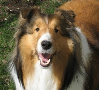 gorgeous!: Collies Puppies, Lassi Audit, Dogs Breeds, Amazing Dogs, Dogs Puppies, Favorite Animal, Animal Pin, Random Stuff, Dogs Life