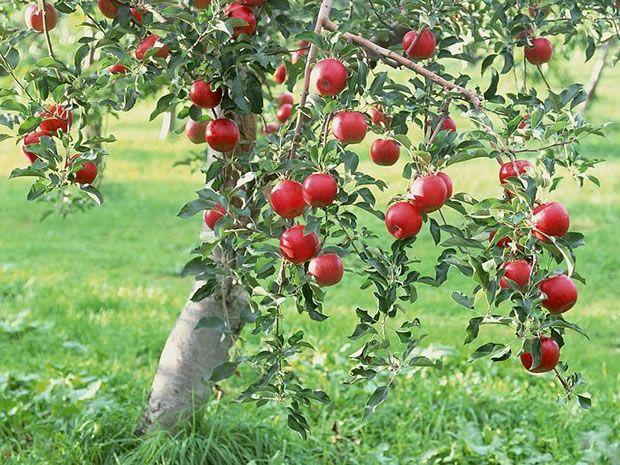 Cómo cultivar un manzano desde una semilla  #jardineria