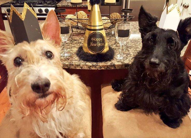 Scottish Terriers Welcoming the New Year!