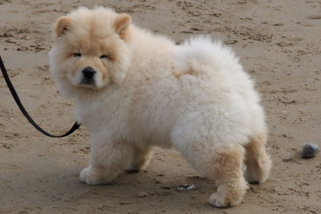 awesome chow chow puppy