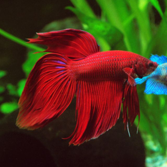 Red beta fish i love the color incensewoman betta for I love the fishes