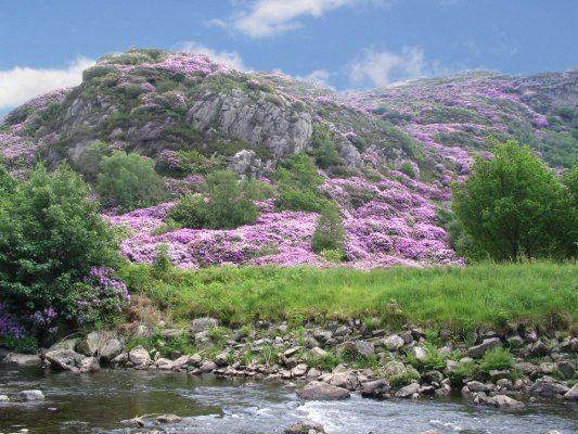 ~ Rhododendron time in Beddgelert, Snowdonia, Gwynedd, Wales