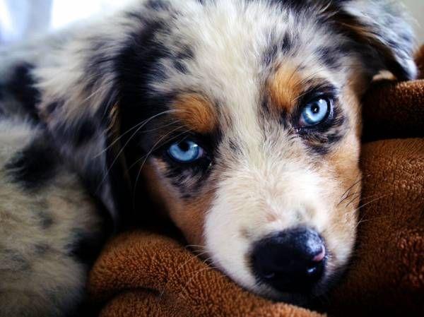 A legintelligensebb kutyafajták:AUSTRALIAN SHEPHERD