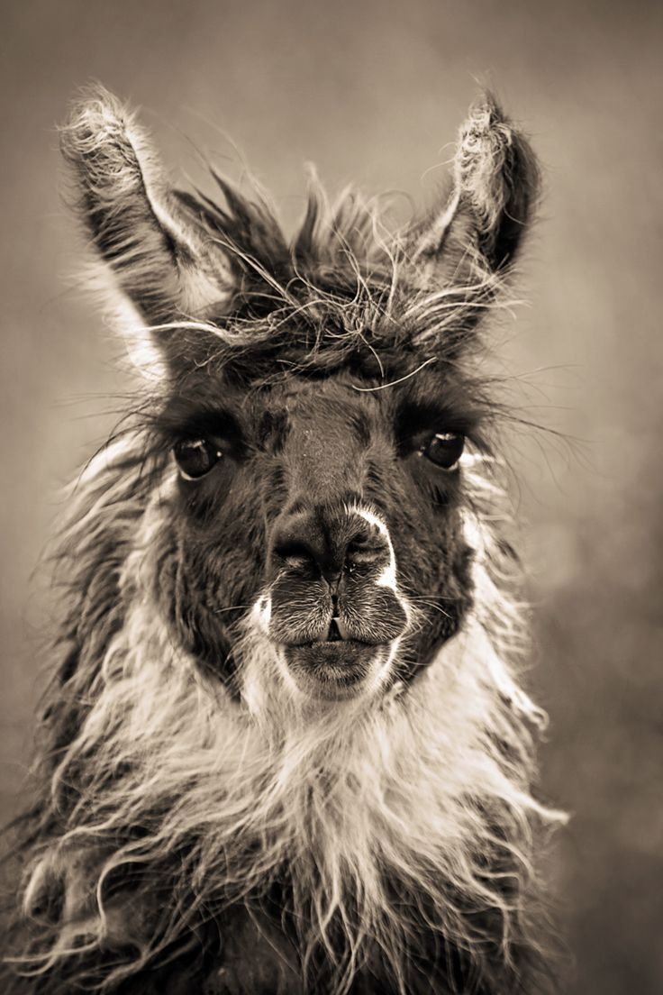This guy looks like the wise old chief of the llama tribe