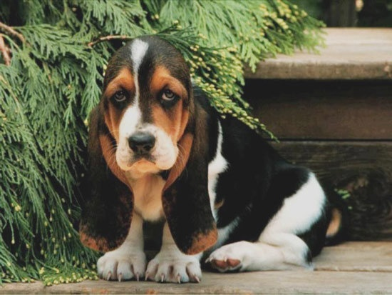 Miniature Basset Hound | Basset Hound Puppies C