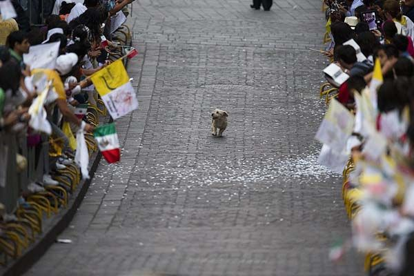 This dog, who thinks this parade is all for him.