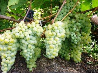 (+1) тема - Как вырастить виноград у себя на даче?   6 соток