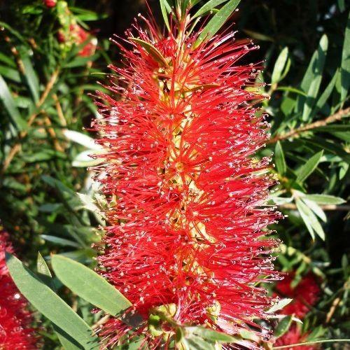 Callistemon 'Wildfire' - fantastic tall hedge bottlebrush with vibrant red flowers #australian #native