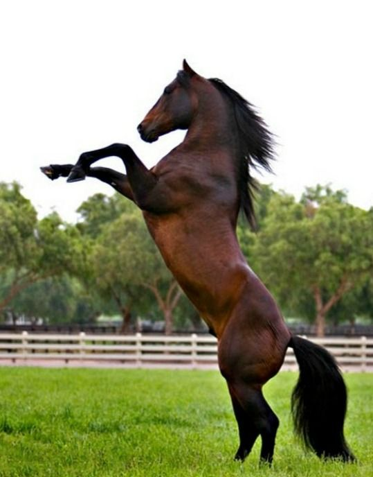 American Azteca Horse stallion, Brio. Brio was stolen in November 2013 and returned unharmed in December. Microchips can ruin a thief's plans. So fortunate this innocent and magnificent horse is OK.