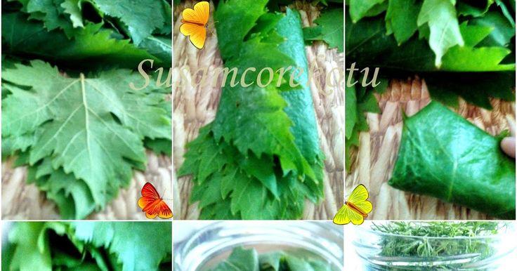 Susam Çörek Otu Denenmiş Tarifler: Asma Yaprağı--Cam Şişede Kuru Olarak Yaprak Saklanması