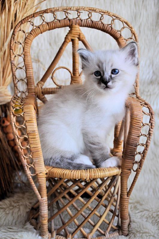 Sacred Birman Kitten | Cattery Rosecitycoon | The Netherlands