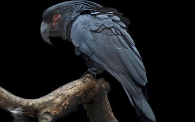 Scarica sfondi Blu cockatoo, uccelli, pappagalli, close-up, Cacatua pastinator