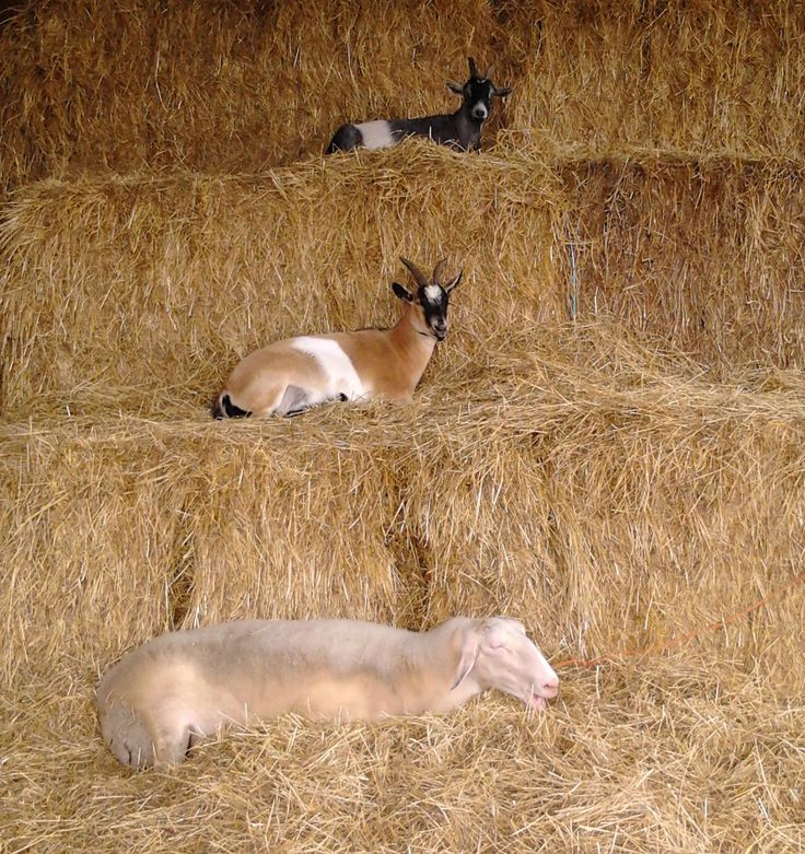 On the tenth day of Christmas...  Follow our story at https://www.facebook.com/pages/Conestogo-River-Horseback-Adventures/300198049923  #12DaysOfChristmas #PettingZoo #Menagerie #Sheep #Goat #Alpaca #Donkey #EverythingInTheBarn #Waterloo #HorsebackAdventures #FunOnTheFarm #WinterOnTheFarm
