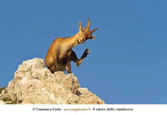 Photo: Anche questo stambecco sembra felice...     Foto: Passeggiando.it