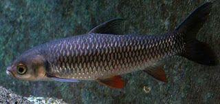 ampuh,Cara Membuat Umpan Jitu,Ikan Jelawat,Macam-macam Teknik Mancing,rahasia umpan,resep umpan,Umpan Ikan Jelawat,umpan ikan jelawat lombong,umpan terbaik untuk ikan jelawat,