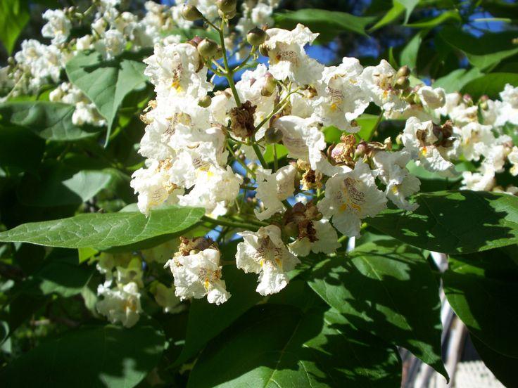 Some flowers on my catawba tree.