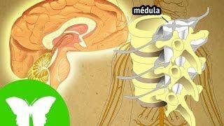 sistema nervioso para niños - YouTube