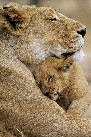 Lioness and cub. Amor y cariño se demuestran por contacto.