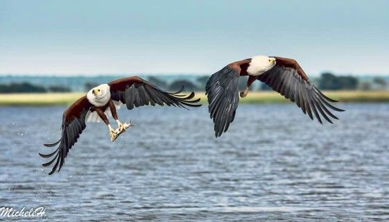Two fish eagles. Captured by Michele  Hendry