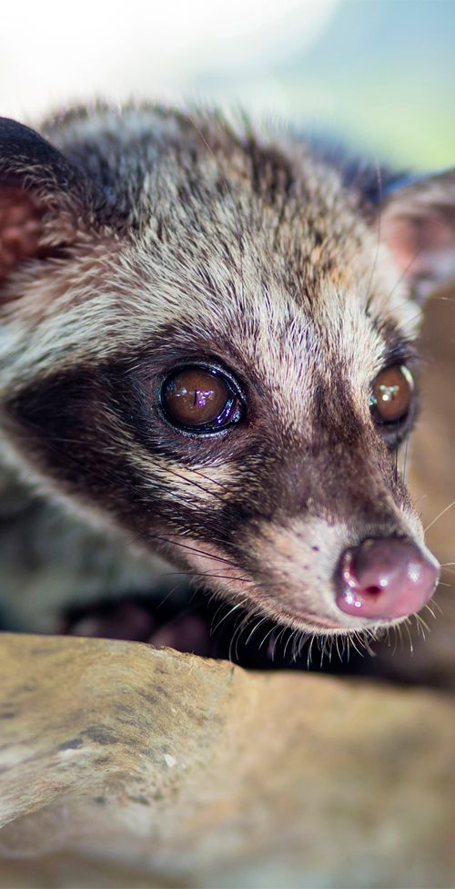 Oddly enough, the Asian Palm Civet is used to make Kopi luwak, one of the most expensive coffees in the world! #coffee