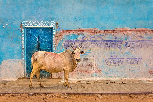 Holy Cow in the streets of Orchha, India