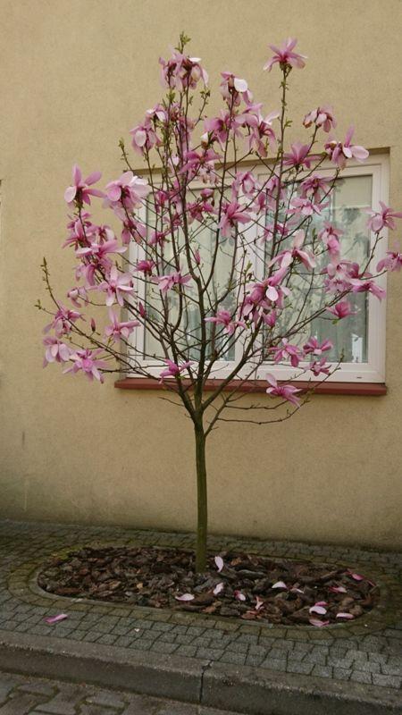 Przekwitająca magnolia