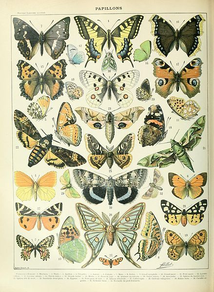 Butterflies illustration of the Nouveau Larousse illustré, Adolphe Millot, public domain via Wikimedia Commons.