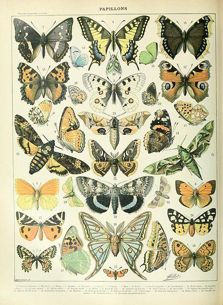 Butterflies illustration of the Nouveau Larousse illustré, Adolphe Millot, public domain via Wikimedia Commons.