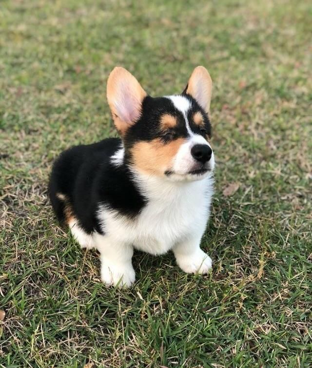 This Blind Corgi Puppy Is Up For Adoption In Texas His Name Is Peepers He Already Has A List Of People Who Want To Ado Corgi Puppy Corgi Corgi Husky Puppies