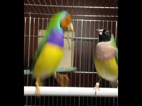 Gouldian finch mating dance.....he really gets into it around the 25 second mark!
