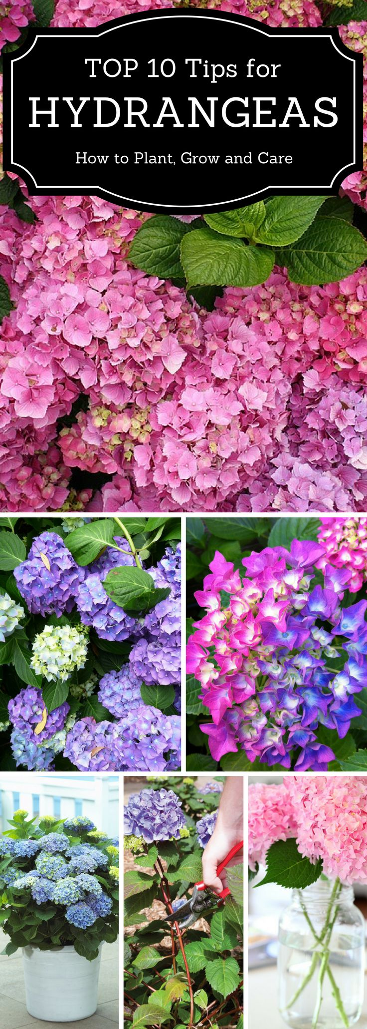 Top 10 Tips for Hydrangeas | How to Plant, Grow, and Care for Hydrangeas | Read these 10 tips for planting and caring for beautiful hydrangeas.