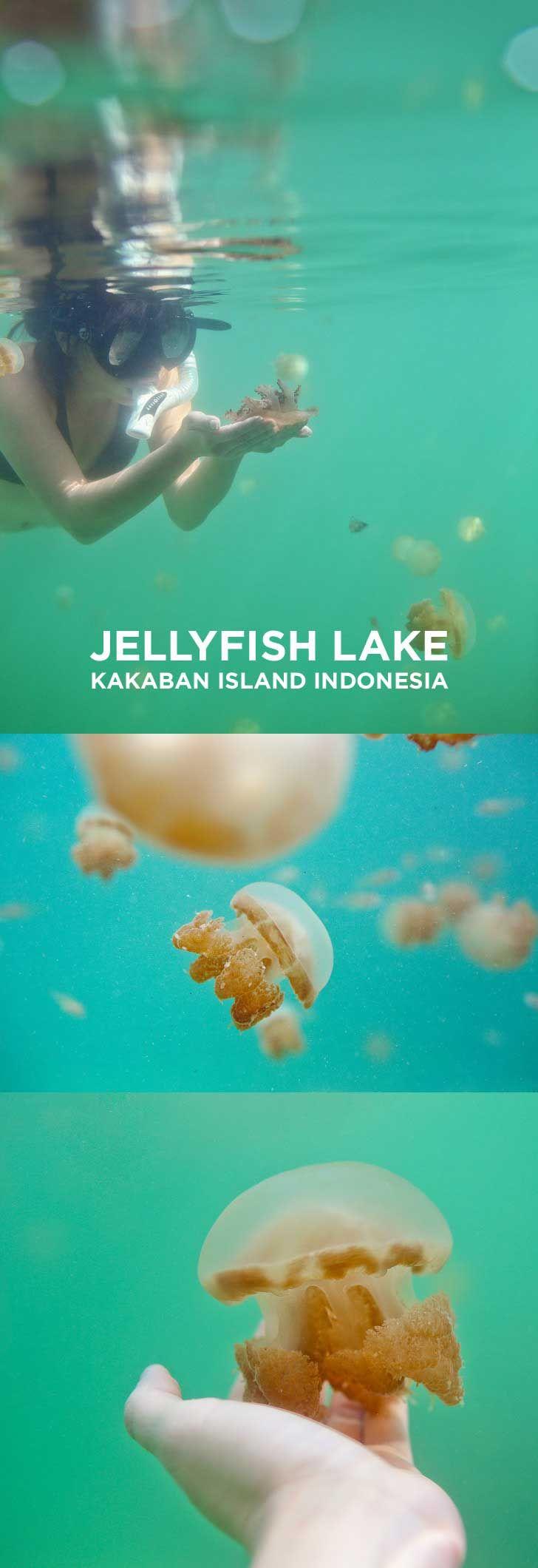 Swimming with Stingless Jellyfish at Jellyfish Lake Kakaban Island Indonesia // localadventurer.com
