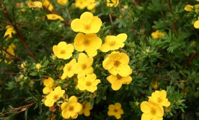Курильский чай и его польза  Растение это известно многим цветоводам под названием лапчатка, или пятилистник. Свое питейное имя оно получило за то, что в прошлом от Урала до Курил высушенные листья и цветки использовали для приготовления чая.