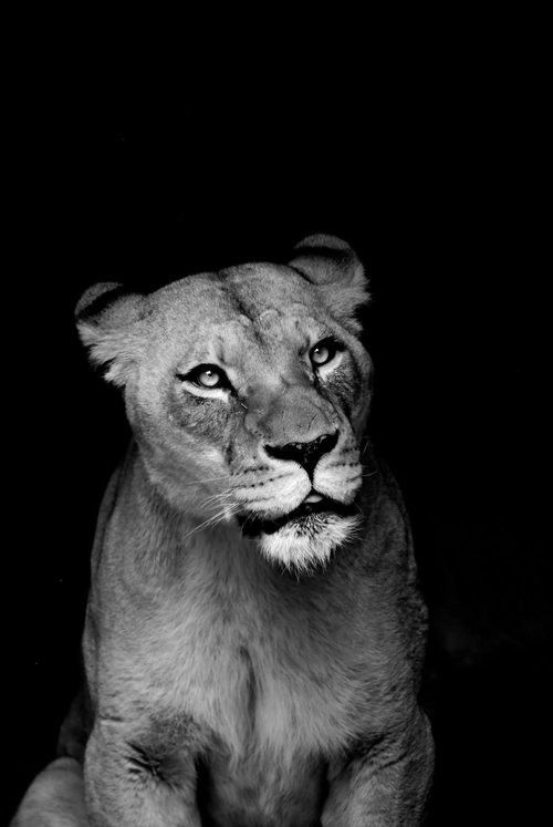 Lioness face expression