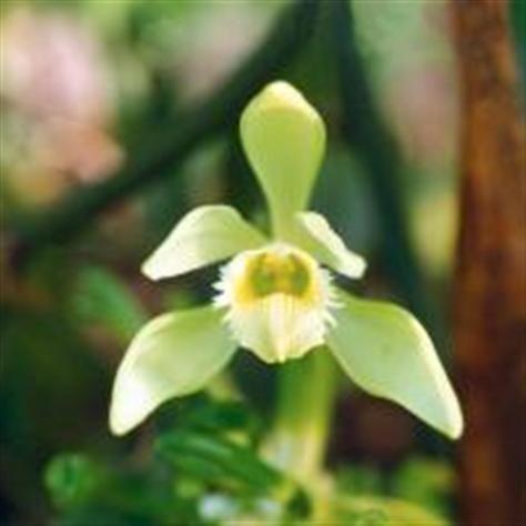 Vanilj | Blomsterlandet.se Vanilla planifolia   Orchidaceae, orkidéer     Tänk att ha en egen vanilj-planta!