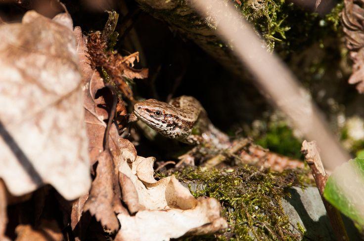 Common Lizard (Zootoca vivipara) basking in the sun Lake District UK [OC] [3202x2127]