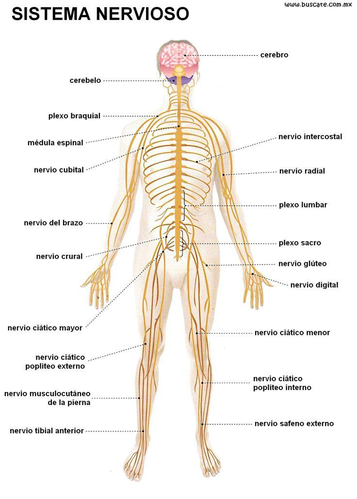 sistema nervioso - Buscar con Google                                                                                                                                                                                 Más