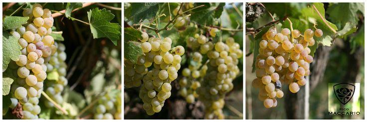 #sauvignon #chardonnay #favorita #whitewine #monferrato #vineyard #picomaccario