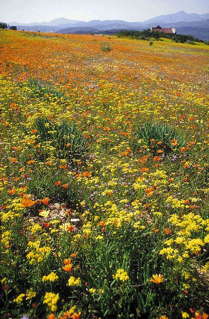Flieds with Namaqualand daisies in bloom. Namaqualand - South Africa by South African
