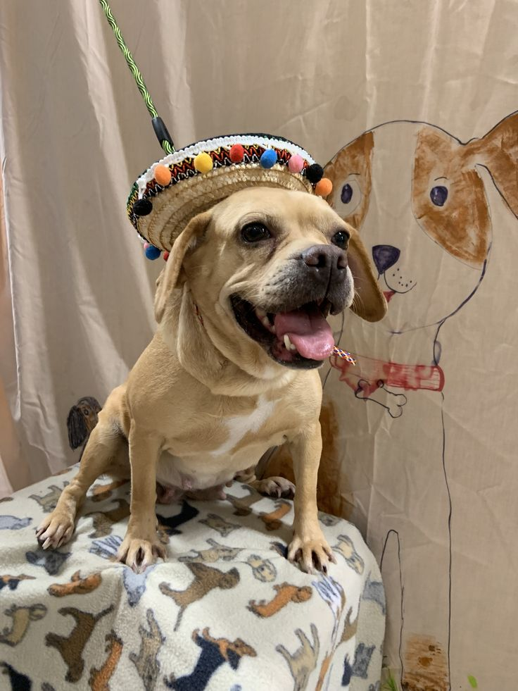 Adopt chanan on puppy adoption pug beagle mix pug beagle