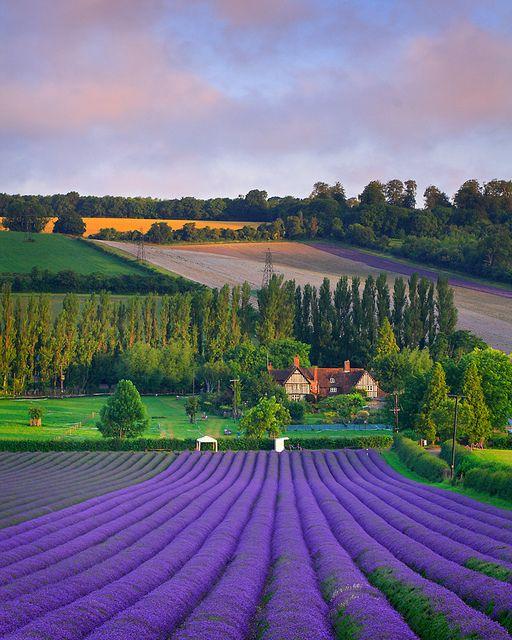 Summer Lavender Harvest. Eynsford, England.  By Nigel Morton