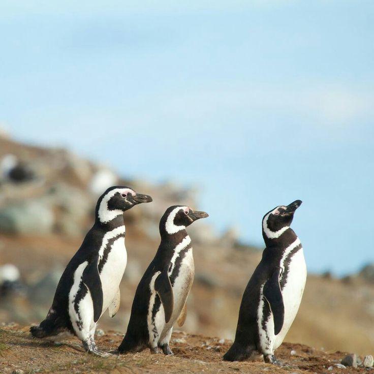 """No solamente se encuentran pingüinos en el Polo Sur, sino también en Isla Cachagua, un pequeño islote rocoso de 150 por 300 metros en Chile central. La isla se ubica en Costa Esmeralda, al norte de Valparaíso y Viña del Mar. Es el paraíso para nutrias, delfines, leones marinos y aves marinas, así como para el Pelícano peruano, en peligro de extinción. Sin embargo, el principal atractivo de este islote rocoso, conocido como """"la Isla de los Pingüinos"""", es la ruidosa colonia de más de 2.000…"""