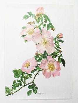 Vintage Botanical Print 'Wild Roses'