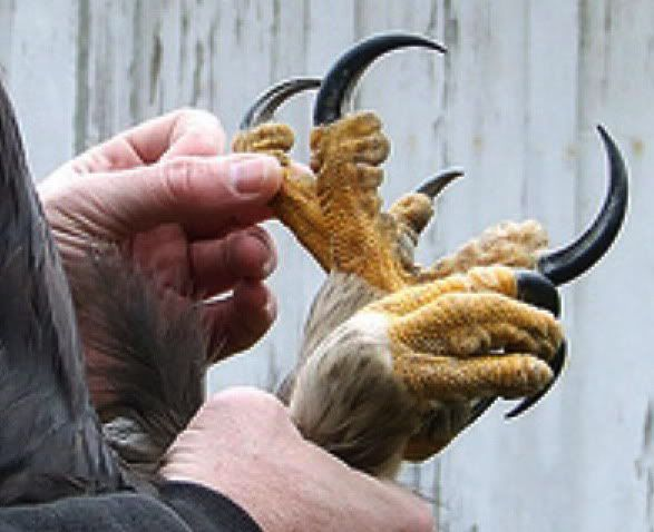 harpy eagle claws - Google Search