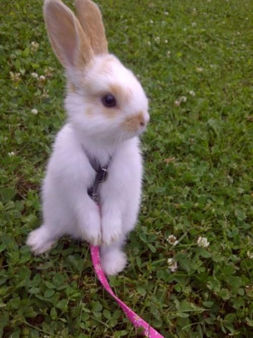 it's settled: my bunny will learn to walk on a leash